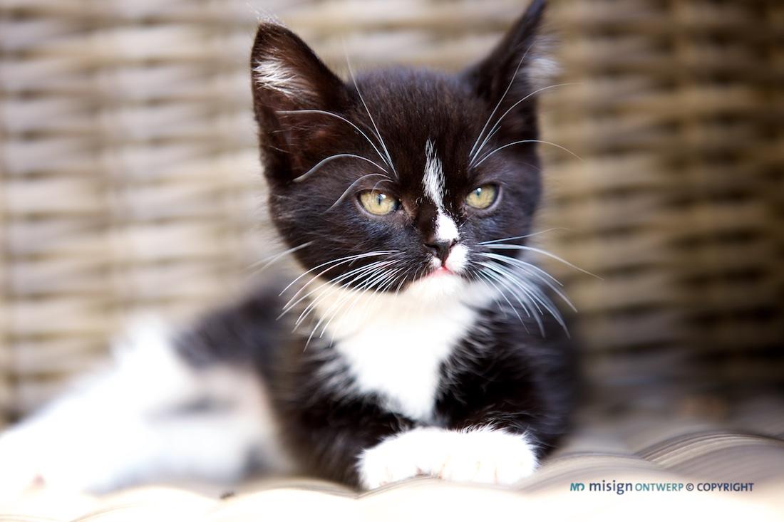 Zwart/witte kat op stoel