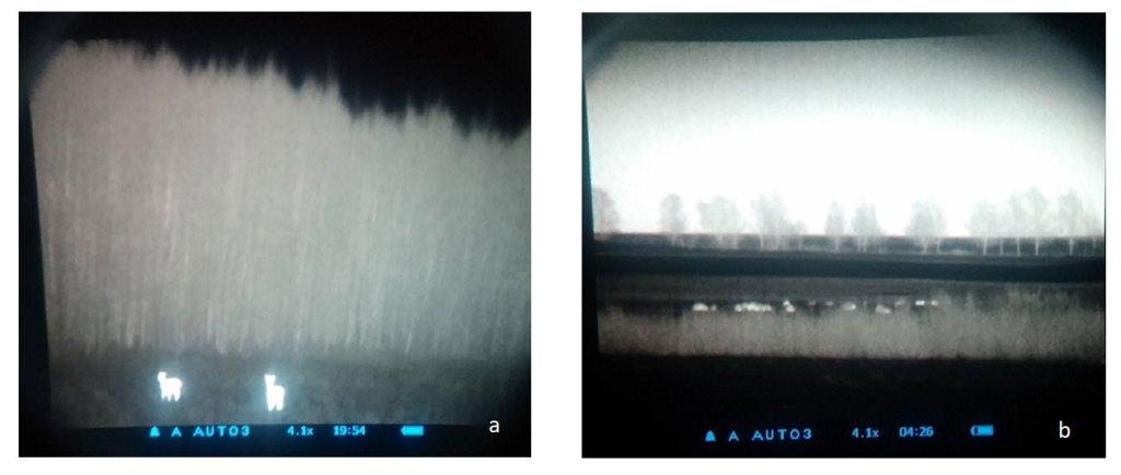 Gyvūnai stebimi termovizoriumi besiganantys ražienose: a – stirnos 120 m atstumu; b – šernų banda 320 m atstumu