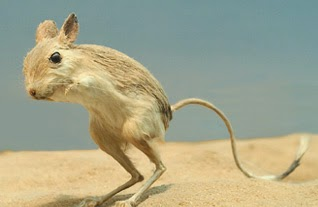 This is a desert gerbil.