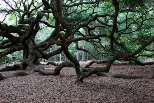 Angel Oak, Charleston