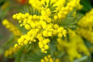 donne mimosa 8 marzo