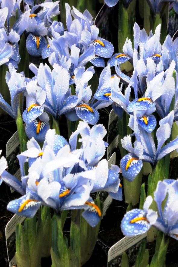 columbia-road-iris