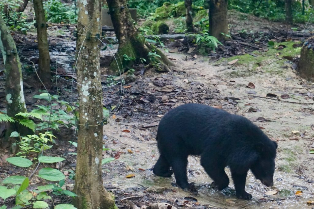 black bear Laos