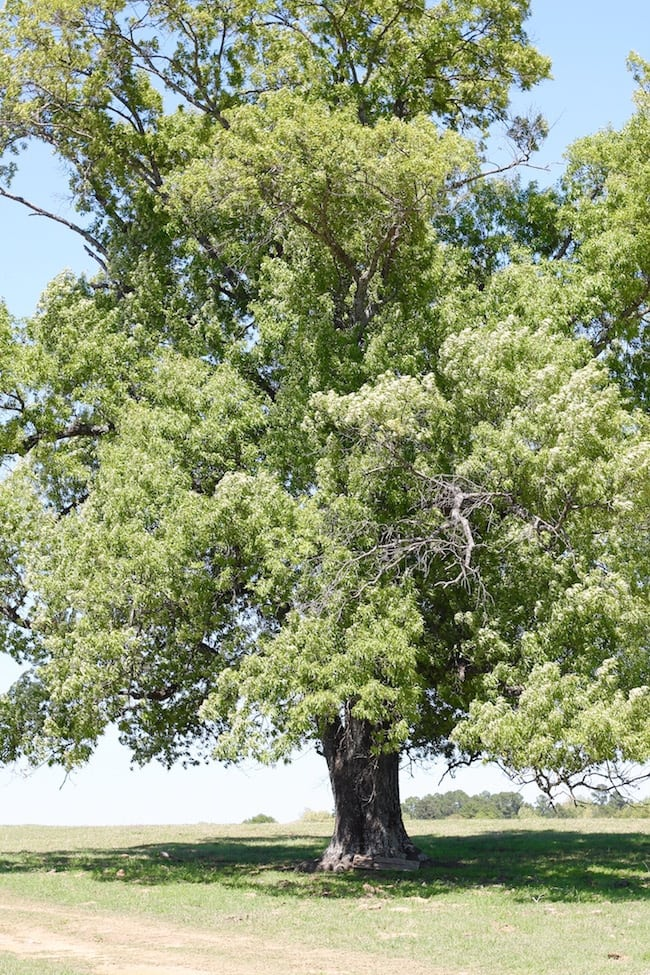 Oak Tree for Earth Day on the Ranch