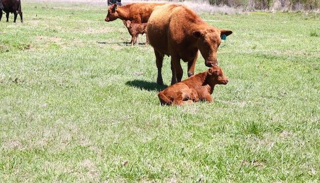 Red Cow and Calf ~ Earth Day on the Ranch