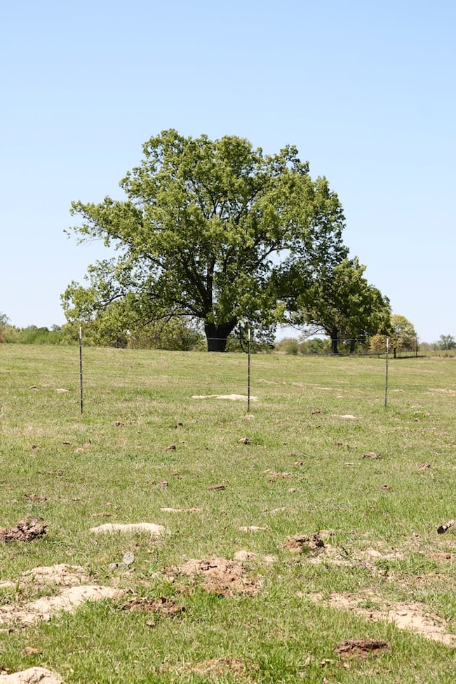 oak tree on oklahoma ranch
