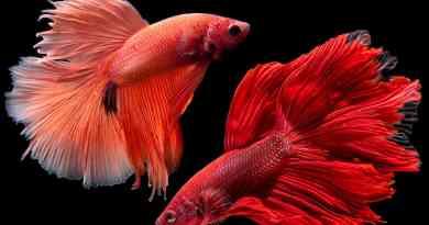La vita sregolata del pesce combattente (Betta splendens)