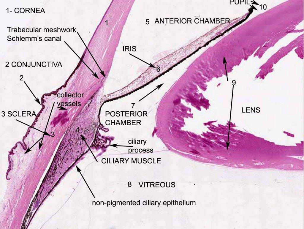 microscopic eye anatomy