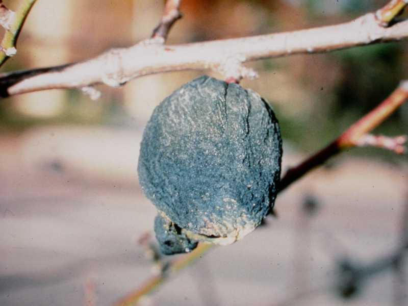 Black Mold Strawberry