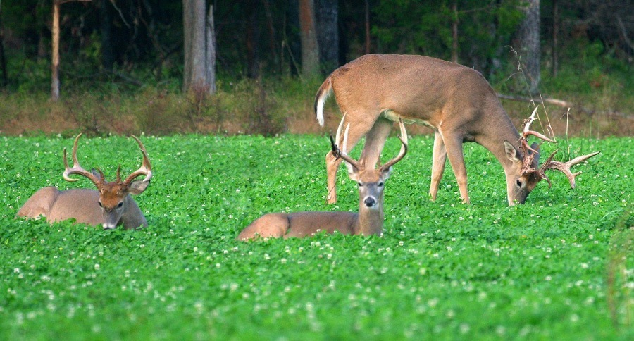 Deer at Foodplot