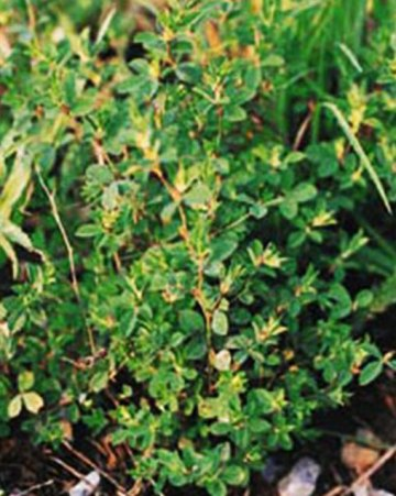 Korean Lespedeza