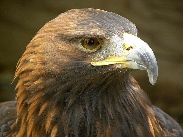 golden-eagle-eagle-1487227_640