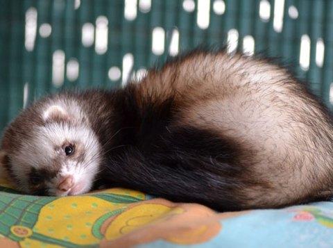 ferret-lying-down