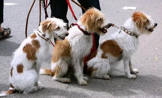 Dog walking services- 3 dogs