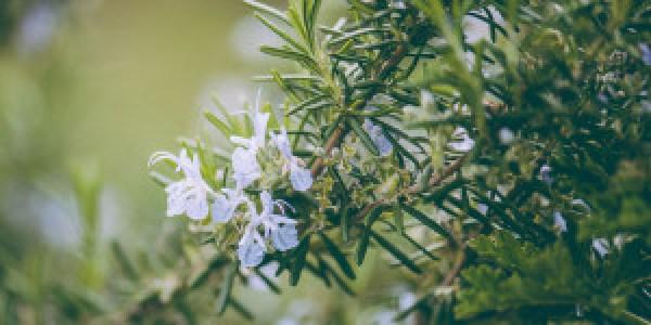 6 μυστικά για φύτευση και φροντίδα δεντρολίβανου