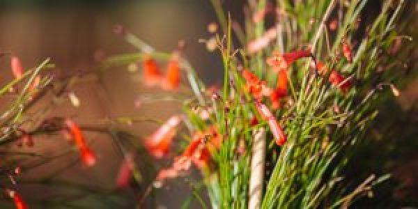 Κοράλι, ένα φυτό από τα παλιά