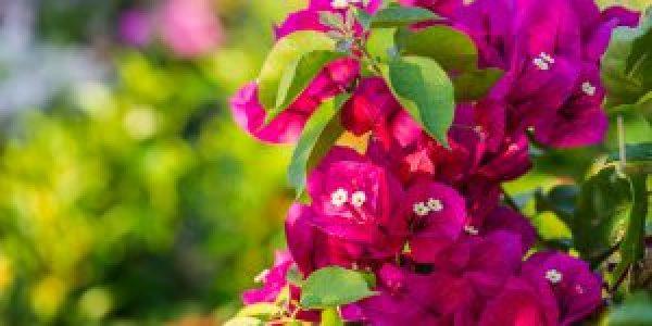 Τέσσερα μυστικά για ανθισμένες βουκαμβίλιες
