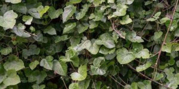 Κισσός, ένα ιδιαίτερα ανθεκτικό αναρριχητικό φυτό