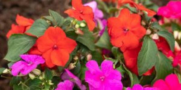 Ιμπάτιενς, το ερωτάκι με τα υπέροχα λουλούδια