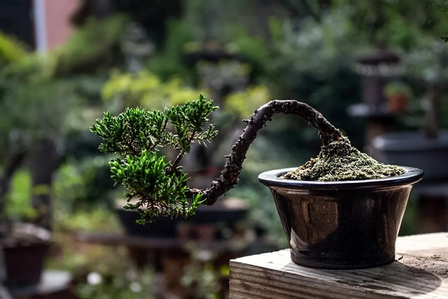 Misty Moon Bonsai Specialist Nursery