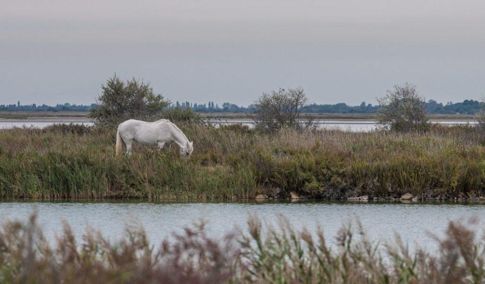 Pferde in der Camargue