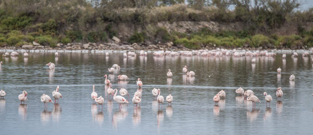 Carmargue - Flamingos