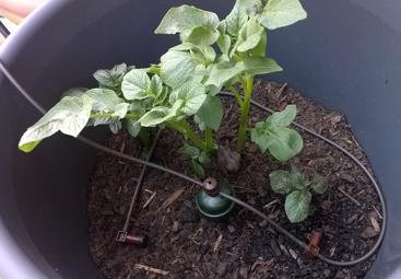 So sehen die kleinen Kartoffelpflanzen aus.