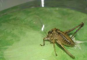 Hier sieht man die kurzen Flügel der Strauchschrecke.