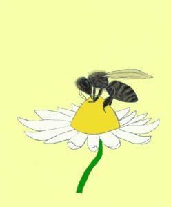 Eine Honigbiene sitzt auf einer Margarite.
