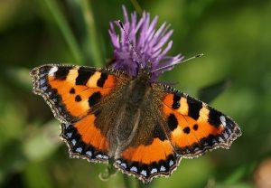 Schmetterling, der Kleine Fuchs, an Klee.
