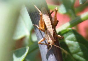 An einem Tomatenspiralstab sitzt die Nymphe einer Gemeinen Strauchschrecke. Es handelt sich um eine weibliche Nymphe.