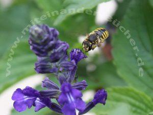 Eine Große Wollbiene beim Anflug auf eine Salbeiblüte.