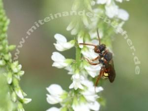 Schwarz-gelb gestreift ‒ Ein Kuckuck im Bienennest