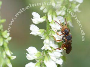 Eine Wespenbiene trinkt Nektar an weißem Steinklee.