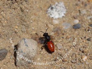 Die Blutbiene Sphecodes albilabris.