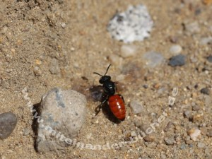 Die Biene im Sand ist eine Blutbiene <em>Sphecodes albilabris</em>.