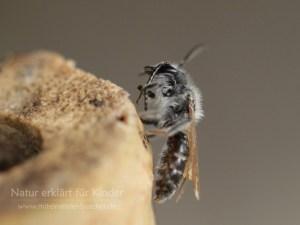 Lina rettet eine Furchenbiene.