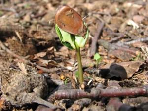 Wenn Bäume KInder kriegen - Buchenkeimlinge