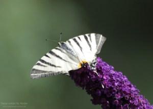 Ein Segelfalter mit kaputten Flügeln