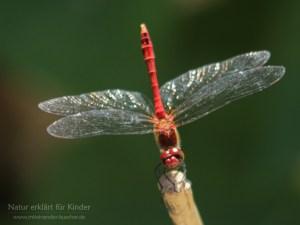 Eine Libelle so rot wie Blut - Die Blutrote Heidelibelle
