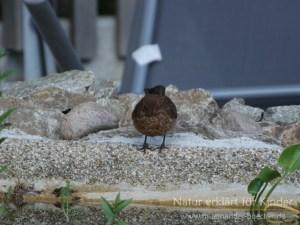 Ein Bad im Gartenteich - Die Amsel