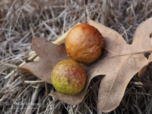 Äpfel auf dem Eichenblatt - Die Gemeine Eichengallwespe
