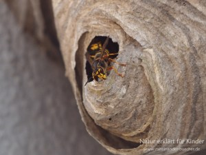 Die fleißigen Baumeister - Zwei Wespennester