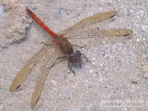 Libelle mit Klettverschluss - Eine Große Heidelibelle sonnt sich