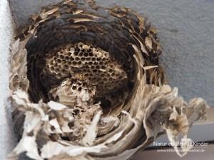 Was machen Wespen im Winter? - Die Mittlere Wespe