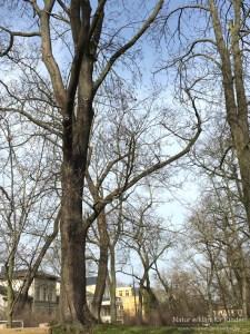 Wie Bäume alt werden