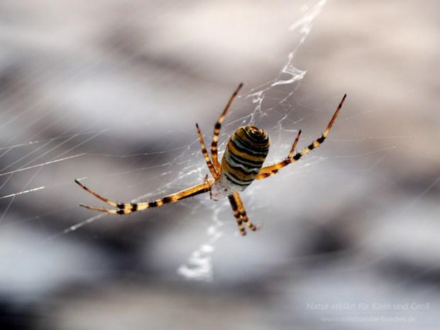 Wespe oder Spinne? - Die Wespenspinne