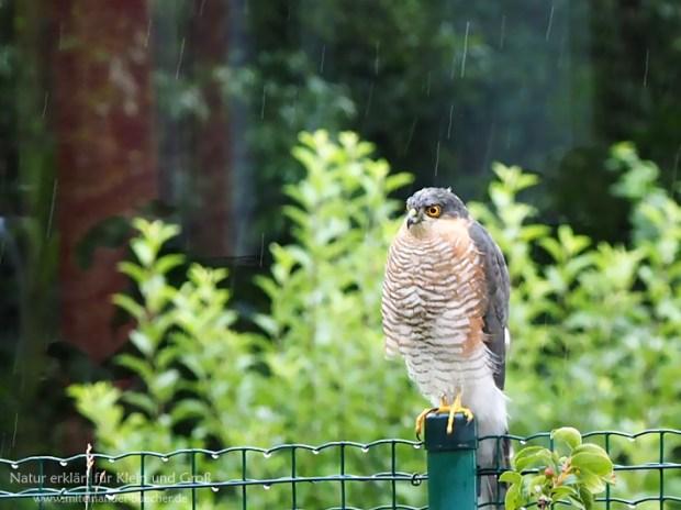 Auf der Lauer, auf dem Zaun - Ein Sperber im Garten