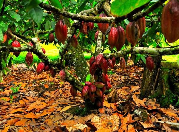 Πριν 12.000 χρόνια περίπου, στη σκιά των μεγάλων δέντρων της ζούγκλας του Αμαζόνιου, ανατολικά από τις Άνδεις, πρωτοεμφανίζεται ένα χαμηλό θαμνώδες δέντρο, που έμελλε να γίνει γνωστό και αγαπητό, σε ολόκληρη τη γη.
