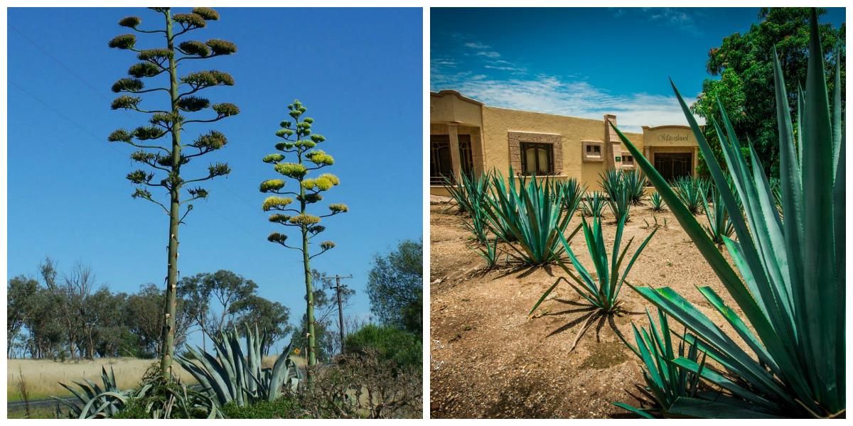 """Από ποιο φυτό παράγεται η διάσημη τεκίλα στο Μεξικό και τι σχέση έχει με τον ελληνικό """"Αθάνατο"""". Το πλέον χαρακτηριστικό φυτό του μεσογειακού τοπίου"""